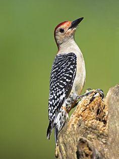 Male Red-bellied Woodpecker 1 by Gerald Marella