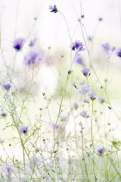 Gilia… by Béatrice Lechtanski on Flickr.