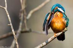 Eisvogel / Kingfisher (Alcedo atthis). 500px.com