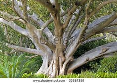 A giant fig tree at the Kirstenbosch National Botanical Garden in Cape Town, which is famous for beauty and diversity of Cape flora - stock photo