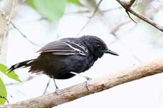 """Chororó-do-Rio-Branco, marcado como""""próximo de extinção"""", de acordo com a BirdLife. Lista vermelha da extinção - Revista Ecológico"""