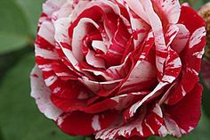 We've compiled a list of the easiest roses to grow.your foolproof rose growing guide so that no matter where you are, how minimal your gardening skills, you'll be able to enjoy a beautiful rose garden! Unique Roses, Beautiful Roses, Plantar Rosales, Come Little Children, Unique Cottages, Rose Care, Simple Rose, Rose Leaves, Growing Roses