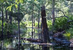 swamp vine - Google Search Vines, Florida, Plants, Image, Google Search, The Florida, Plant, Arbors, Grape Vines