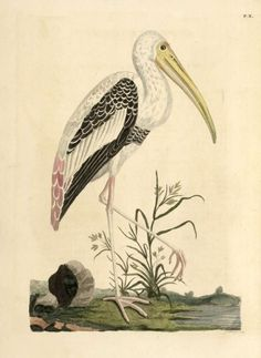 Animal - Indian Zoology - Bird - Stork-like