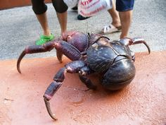 Coconut Crab of Guam.oh hell naw aliens do exist and run Beautiful Creatures, Animals Beautiful, Coconut Crab, Us Islands, Crab Stuffed Shrimp, Crab And Lobster, Rare Animals, Beautiful Fish, Ocean Creatures
