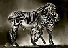 Zebras Jigsaw by Educa (EDU16359, 500 pcs) | Jigsaws Delivered: Aussie Puzzle Shop