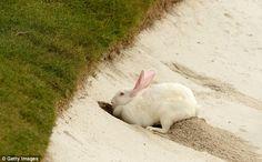 Rabbit at Shanghai golf tournament decides that 18 holes just isn ...
