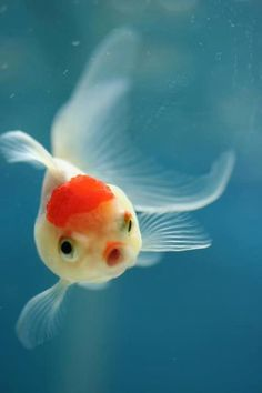 This photograph of a goldfish offers up an orange, blue, and white color scheme.