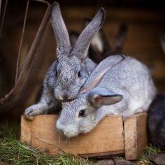Meat Rabbits, Raising Rabbits, Rabbit Pen, Bunny Rabbit, Flemish Giant Rabbit, Outdoor Rabbit Hutch, Indoor Rabbit, Bunny Hutch, Bunny Cages