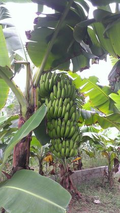 Bananas tress.