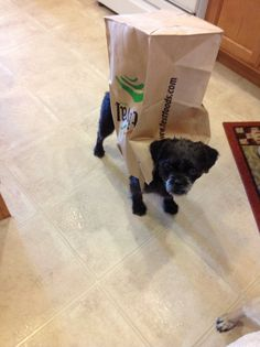 Pugapoo wear of the week: pug in a bag check in next week for more!