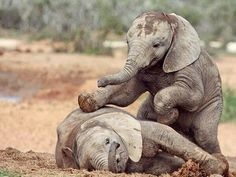mis bebes..From :  @magnificentelephants -  Playtime  - . . For info about promoting your elephant  art or crafts send me a direct message @elephant.gifts or email elephantgifts@outlook.com  . Follow @elephant.gifts for beautiful and inspiring elephant  images and videos every day! . #elephant #elephants #elephantlove