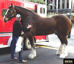 """Budweiser Clydesdales 2014 Super Bowl Commercial: Expect Big Horses, a Cute Puppy, and An Epic """"Awwwww. Clysdale Horses, Work Horses, Black Horses, Draft Horses, Show Horses, Breyer Horses, Pretty Horses, Beautiful Horses, Animals Beautiful"""