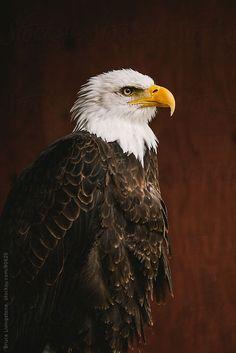 Bald Eagle by Bruce Livingstone