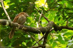 Burung White-bellied pitohui (hbw.com)