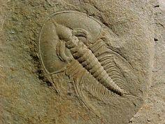 CAMBRIAN TRILOBITE | Olenellus chiefensis Cambrian Trilobite from Pioche Formation