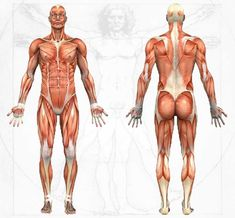 Awesome Anatomy and Physiology Sote -- Visuals, origins, insertions, trigger points