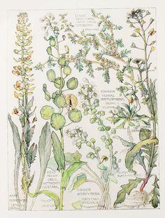 Cabbage Family Botanical Print, by Harriet Isabel Adams Vintage Botanical Prints, Botanical Drawings, Botanical Illustration, Illustration Art, Botanical Flowers, Botanical Art, Merian, Nature Journal, Fauna