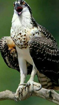 12 Top Bird Of Prey Pictures, Photos, & Images – meowlogy 12 Top Bird Of Prey – Fotos, Lizenzfreie Bilder und Vektorgrafiken Pretty Birds, Beautiful Birds, Animals Beautiful, Cute Animals, Exotic Birds, Colorful Birds, Tropical Birds, Bird Pictures, Animal Pictures