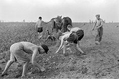 HANNOVER * Vertriebene werden in der  Landwirtschaft eingesetzt. Hochqualifizierte Vertriebene arbeiten selbst auf dem Feld, da sie sonst keine Arbeit bekomen.Hier  Jungen beim Kartoffelroden am Messegelände 1951.