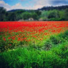 A field of wild poppies near Bonnieux in Provence, France. A breathtaking sight as we rounded a corner and this gorgeous sight came into view!