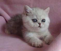 Fluffy Kittens   Fluffy kitten - Cats Picture