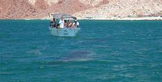 Avistan récord de crías de ballena en Baja California, México