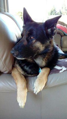 Prachtige Duitseherdershond, Helga!!