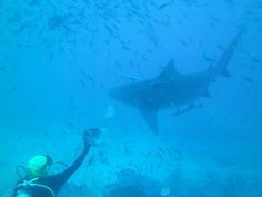 Sealife, Fiji | Dive, travel and volunteer for Marine Conservation at www.frontiergap.com | #dive