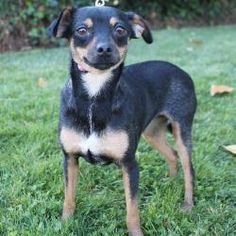 Cookie is an adopted Miniature Pinscher Dog in Las Vegas, NV. Cookie is a 3-4 year old Mini Pinscher-Italian Greyhound mix. She came into our rescue with 4 puppies who are all now ready to find homes ...