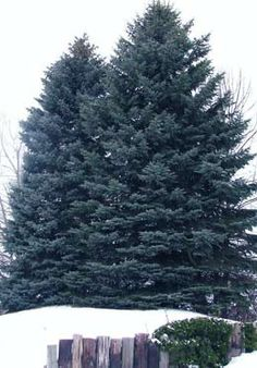 Utah State Tree: Blue spruce Utah designated the blue spruce (Picea pungens Eng… - Modern Blue Spruce Tree, Heber City, Cone Trees, State Of Colorado, Winter Trees, Trees To Plant, Utah, Places To Go
