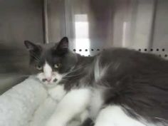 12 / 11   Petango.com – Meet Poppy, a 3 years 6 months Domestic Shorthair / Mix available for adoption in MISSION, KS