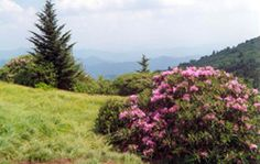 Rhododendrons at Roan Mtn. State Park. Use to come here every summer with family growing up.