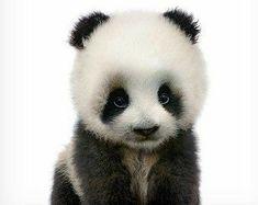 Baby panda print, Wildlife print, Nursery animal prints, The Crown Prints Baby Animals, Nursery wall Safari Animals, Nature Animals, Cute Baby Animals, Animals And Pets, Woodland Animal Nursery, Woodland Animals, Forest Animals, Baby Panda Bears, Baby Pandas
