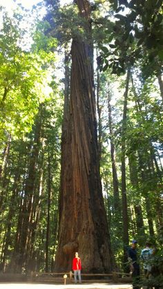 Redwood tree. Santa Cruz, CA