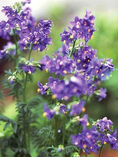 Jacob's ladder Get detailed growing information on this plant and hundreds more in BHG's Plant Encyclopedia.