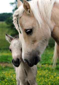 Palomino Miniature horse with foal. - from American Miniature Horse Association Pretty Horses, Horse Love, Beautiful Horses, Animals Beautiful, Beautiful Creatures, Baby Horses, Horses And Dogs, Wild Horses, Animals Images