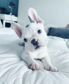 """""""That kind of a day"""" #Repost @French_Bagel (IG) Past Puppies www.PoeticFrenchBulldogs.com . #FrenchBulldog #PoeticFrenchies #Frenchie #Frenchies #frenchbulldogs #Miami #FL #bluefrenchbulldogpuppy #puppies #Blue #FrenchBulldogPuppiesforsale"""