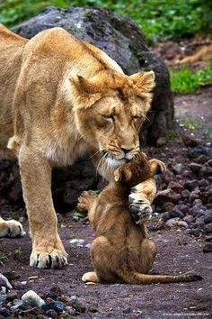 love #Lion and Cub
