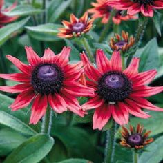 'Cherry Brandy' Black-Eyed Susan - One Quart Pot - Rudbeckia Red Flowers, Beautiful Flowers, Beautiful Butterflies, Cherry Brandy, Cherry Red, Root System, Black Eyed Susan, Blooming Plants, Zone 5