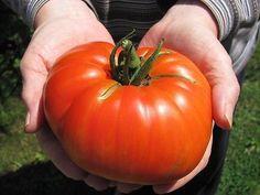 """Goliath""-American Heirloom Tomato--10 Seeds"