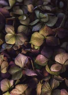 Stock photo of Overhead shot of dried purple and green hydrangea flowers by laurastolfi Green Hydrangea, Hydrangea Flower, Flowers, Hydrangeas, Byron Katie, A Course In Miracles, Art Plastique, Healthy Relationships, Beautiful Words