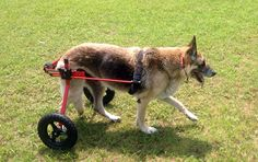 Finding affordable dog wheelchair programs has become the number one mission of Lessons From A Paralyzed Dog. K9 Carts has the only rent-to-own program.