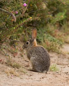 The brush rabbit (Sylvilagus bachmani), or western brush rabbit, is a species of cottontail rabbit found in western coastal regions of North America. It is smaller than many of the other cottontails, and unlike most of them, the underside of its tail is grey rather than white.