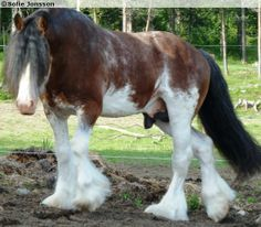 Clydesdale stallion Heavenly Benedictine of Arclid