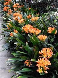 Clivia - for shady garden areas (wow, look at it, I can barely get my indoor one to flower...P.D.)