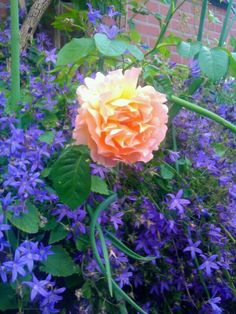 One of my roses,summer 2012