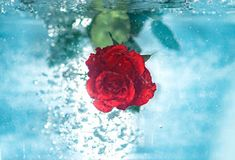 40+Red rose image download free New Nature Wallpaper, New Wallpaper Hd, Hd Wallpapers For Mobile, Mobile Wallpaper, Rose Images, Nature Images, Red Roses, Underwater, Creative