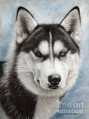 - Siberian Husky  by Tobiasz Stefaniak