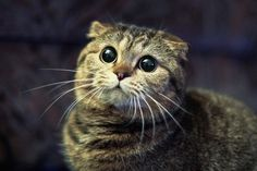 tabbies are my favourite. what a face.  am I a Scottish Fold?